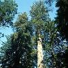 auros: (Sequoia)