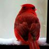 petslife: (NF Cardinal)