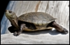 arliss: (turtle on log)