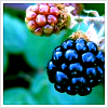 curieuse: (berries)