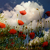 curieuse: (poppies in the sun)