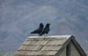 quoththeravyn: Two ravens on a rooftop (Ravens on a rooftop)
