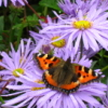 jennygordon: (Tortoiseshell Butterfly (purple))