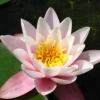 jennygordon: (Water Lily)
