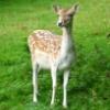 jennygordon: (Roe Deer fawn)