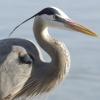 jennygordon: (Great Grey Heron)