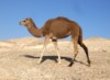 sharel: (camel)