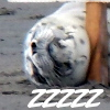 ariestess: NOT FOR PUBLIC SHARING (harbor seal pup zzz)