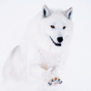weareangels: A white wolf mid-stride on a white background. (LC)