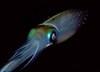 regfoghorn: (squid)
