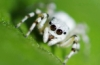 dragon_spirit: (jumping spider)