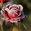 angrboda: A red rose with frost on it (Rose)
