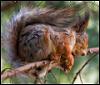 bellka: (sleeping squirrel)