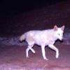 scallion: white jackal walking at night (delicacy)