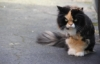 electrocrip: angry looking fluffy calico cat with blue eyes (pic#7879514)