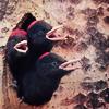 sylvaine: three young birds sticking their heads out of their nest, their beaks open ([gen:anim] tweet tweet)