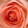 bridenore: (rose)
