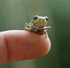 soleilfae: Tiny frog on the tip of a finger (lil' frog)