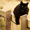 wendelah1: black cat sitting on a fence (Natasha Nogoodnik)
