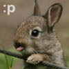 "genarti: Baby rabbit with tongue poking out, text "":p"". ([misc] tiny rabbit says :p)"