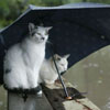 genarti: Two cats sitting under a propped-up umbrella on a fence or porch in the rain. ([misc] shelter from the storm)