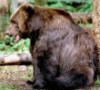 boruch: (медвед)