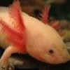 kanibolotsky: (Axolotl6)