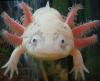 kanibolotsky: (Axolotl7)