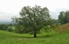 jennywren: (oak tree)