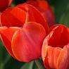 olgau: (tulip)