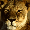 mjolnir_retriever: A lioness looking golden and self-assured and maybe a little amused (if we're being anthropomorphic about it) (Cubefall - lioness)