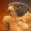 nexus_resident_morpher: (perched peregrine falcon)