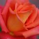 mayevski: (roses)