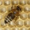 mayevski: (bees)