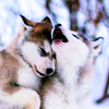 rootsofthestories: Two wolves cuddling (personal: pack icon)