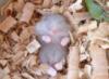 bluehamster: (hamster)