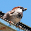 sparrowsion: photo of male house sparrow (Default)