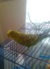 loralika: (волнистые попугаи)
