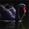 rushofwings: black swan (pic#795792)