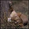 autumnslioness: (Lioness - Lazy)