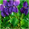 sofiaviolet: some violets (violets)