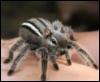 charisstoma: (chipmunk spider)