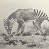 thylacine: (pic#798109)