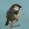 sparrowintheeaves: A sparrow sitting on a branch (House)