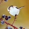 wildabyss: (long tailed tit)