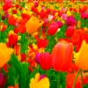 lillysghost: (tulips)