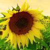 aelia: sunflower (sunflower)