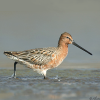 gemfyre: (Asian Dowitcher)