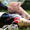 sunnymodffa: piglet exhausted from partying (party piglet w champagne)