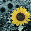 wendelah1: One yellow sunflower in a field of gray (I've got sunshine on a cloudy day)